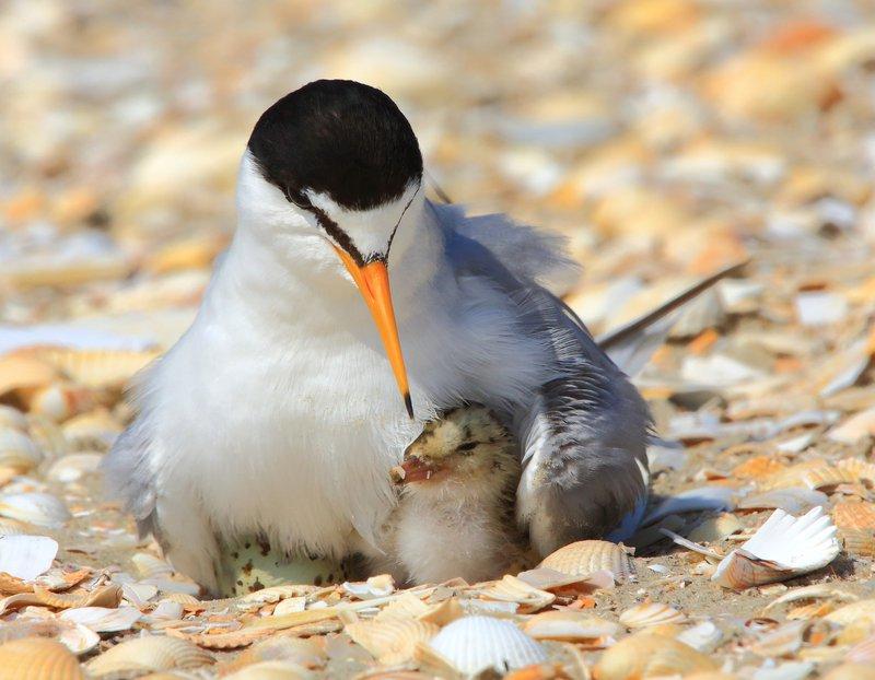 Tema Juni 2017 – Ynglefuglene er godt i gang med de nye kuld