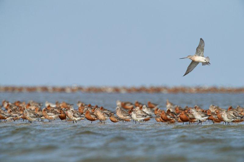 Oplev det store forårstræk i Nationalpark Vadehavet